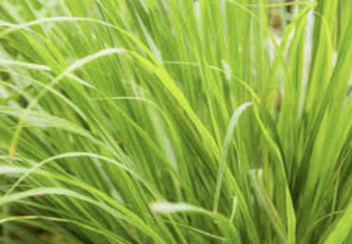 Huile essentielle de Lemongrass So Bohème Cosmétiques